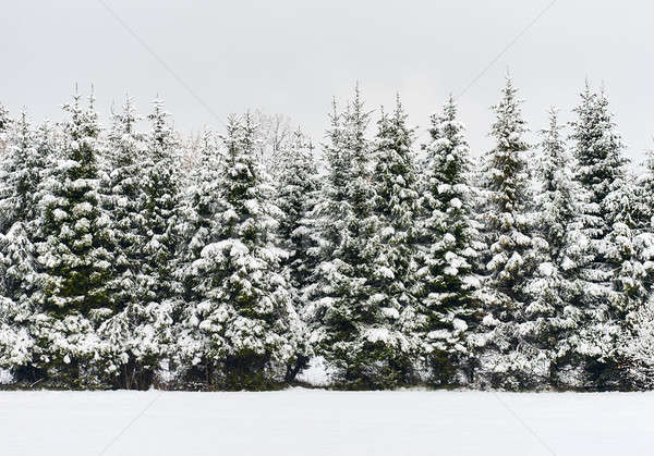 Pine trees in a row. Snowy forest. Latvia. Northern Europe Stock photo © amok