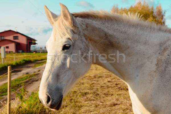 Beautiful white hourse outdoors Stock photo © amok
