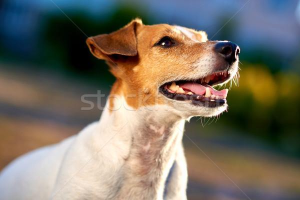 Jack russell terrier kint lány állat kutyakölyök gyönyörű Stock fotó © amok