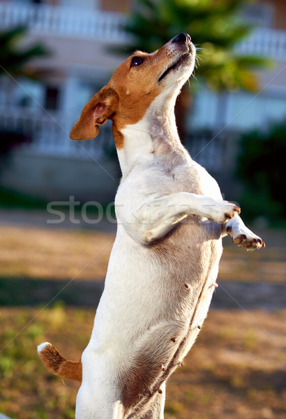 Jack russell terrier aire libre nina cachorro hermosa pie Foto stock © amok
