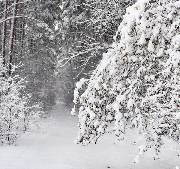 Snowy forest. Latvia. Northern Europe Stock photo © amok