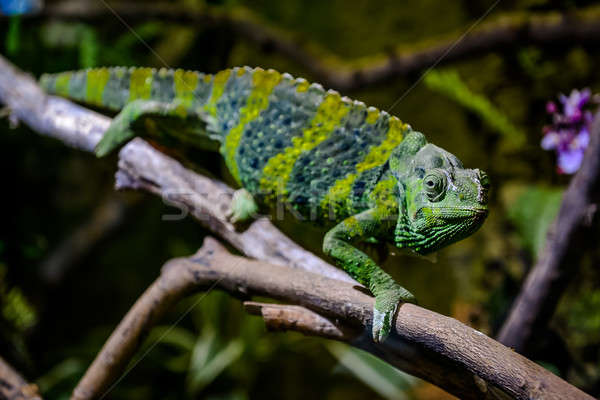 Meller's chameleon on a branch Stock photo © amok