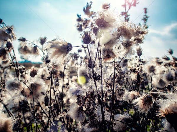 Blanco mullido primer plano fondo campo Foto stock © amok
