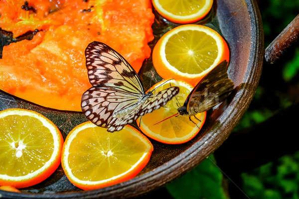 Tree Nymph butterfly feeding  Stock photo © amok