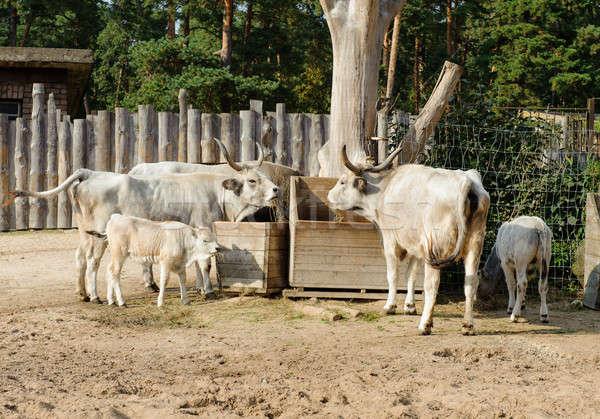 Foto stock: Húngaro · cinza · gado · ao · ar · livre · família · comida