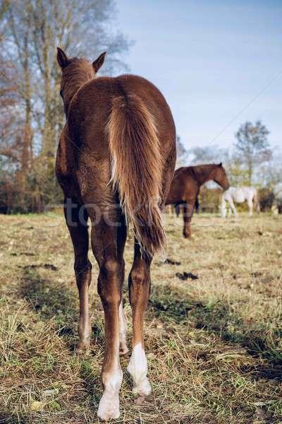 Horses outdoors Stock photo © amok