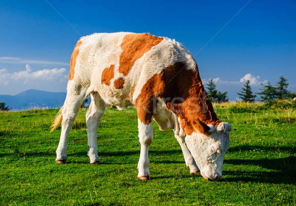 Stock photo: Cow grazing on meadow. Photo taken in Graz, Austria