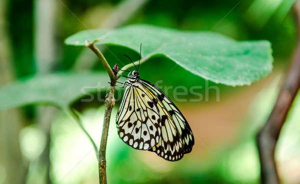 ツリー 蝶 絞首刑 緑色の葉 自然 黒 ストックフォト © amok