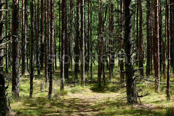 Pine bos russisch spugen zomertijd populair Stockfoto © amok