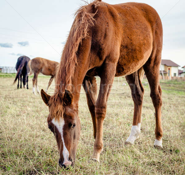 Beautiful brown horse feeding outdoors Stock photo © amok