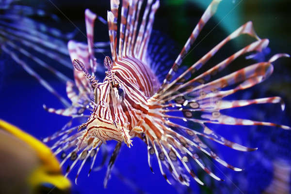 Lion fish Stock photo © anbuch