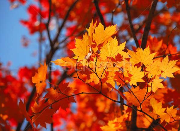 Sarı akçaağaç yaprakları orman gökyüzü ağaç Stok fotoğraf © anbuch