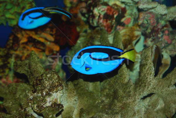 Tropical fish Stock photo © anbuch