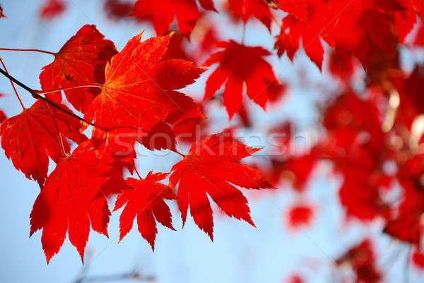 Kırmızı akçaağaç yaprakları mavi gökyüzü gökyüzü doğa Stok fotoğraf © anbuch