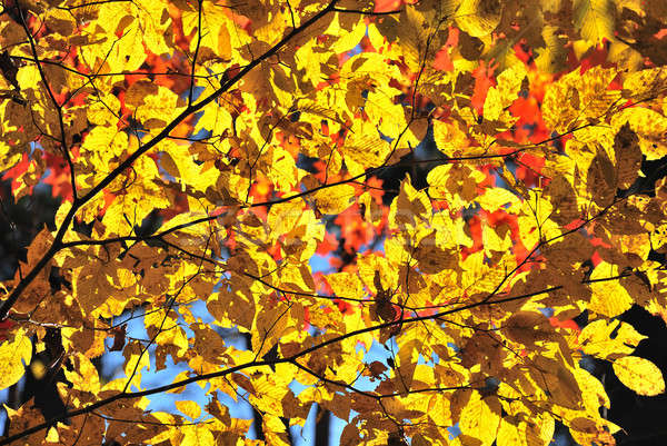 Yellow leaves Stock photo © anbuch