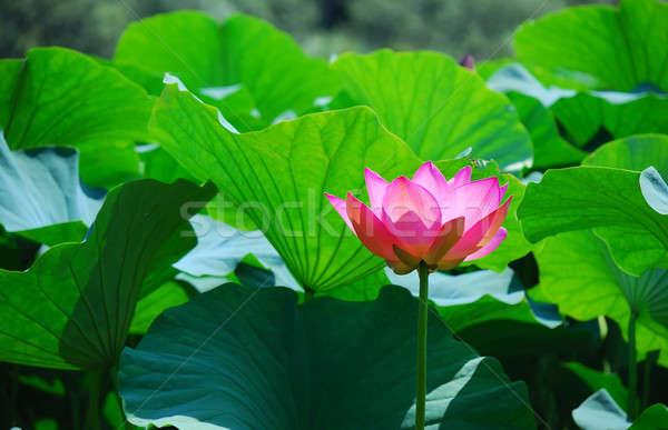 Hermosa loto rosa agua flor hoja Foto stock © anbuch