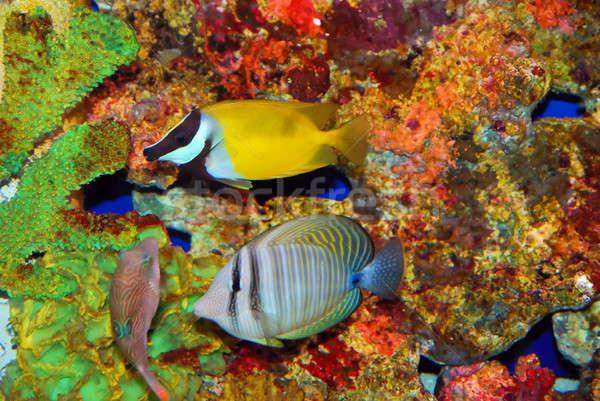 Trópusi halfajok színes mély tenger víz Stock fotó © anbuch