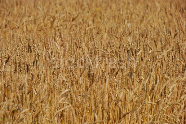 Gabonapehely mező búza étel természet kenyér Stock fotó © anbuch