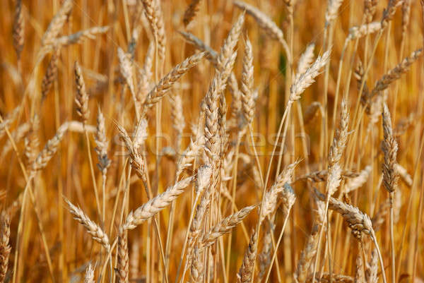Cereal field Stock photo © anbuch