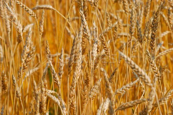 Tahıl alan bahar doğa çiftlik sonbahar Stok fotoğraf © anbuch