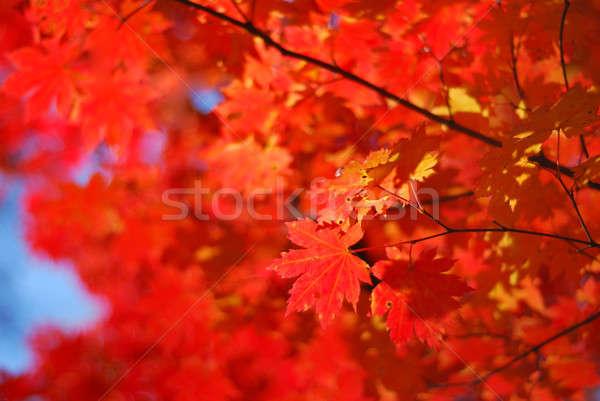 Juhar levelek piros fa erdő absztrakt Stock fotó © anbuch