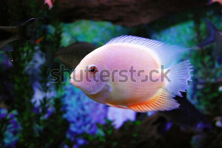 красивой розовый рыбы глубокий морем воды Сток-фото © anbuch