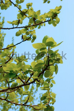 Green leaves Stock photo © anbuch