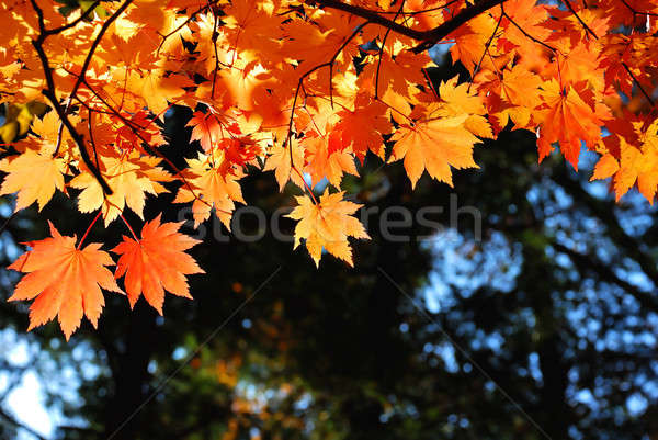 Rojo amarillo arce hojas árbol forestales Foto stock © anbuch