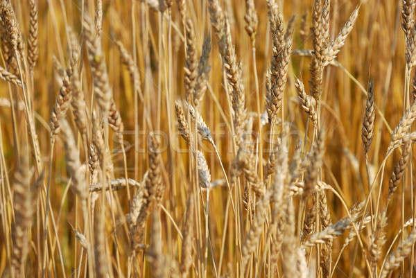 Cereal campo primavera natureza fazenda outono Foto stock © anbuch