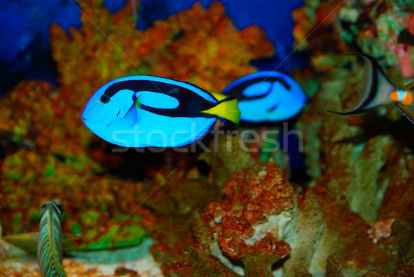 Tropical fish Stock photo © anbuch