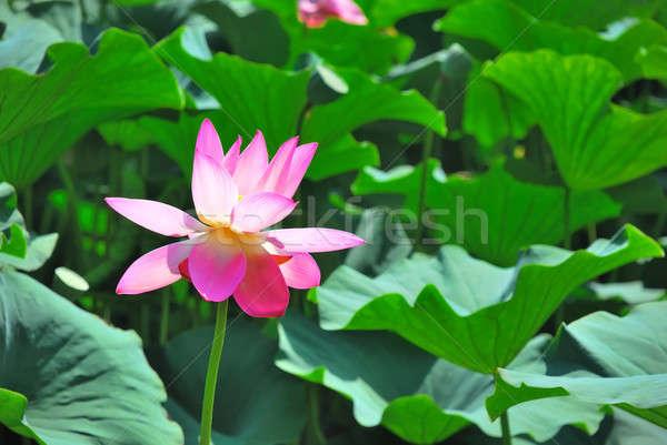 Beautiful lotus Stock photo © anbuch