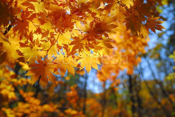 Maple leaves Stock photo © anbuch