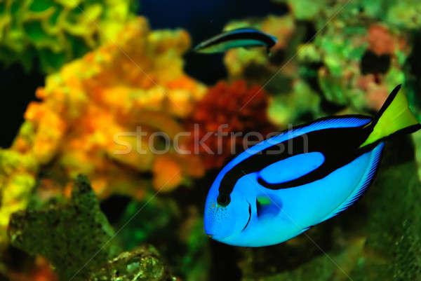 Azul peces hermosa mar agua naturaleza Foto stock © anbuch