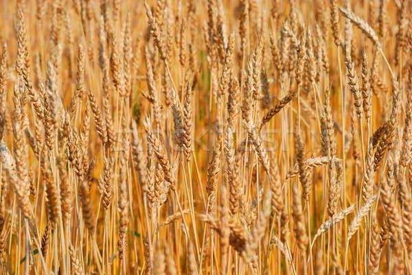 Tahıl alan doğa çiftlik buğday sonbahar Stok fotoğraf © anbuch
