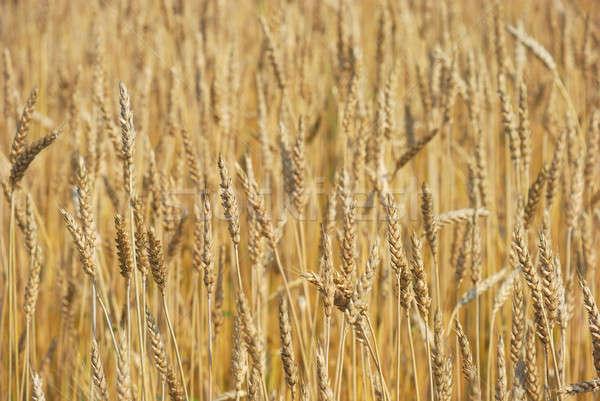 Granen veld boerderij tarwe plant weide Stockfoto © anbuch