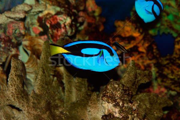 тропические рыбы красивой глубокий морем воды рыбы Сток-фото © anbuch