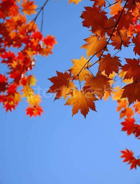 Citromsárga juhar levelek égbolt fa absztrakt Stock fotó © anbuch