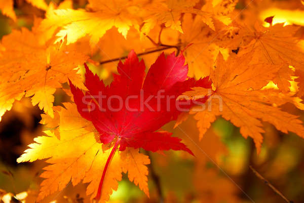 Rosso foglia d'acero giallo foglie albero foresta Foto d'archivio © anbuch