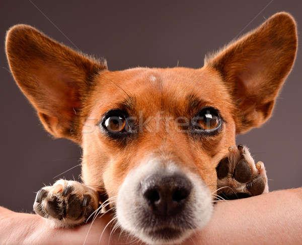 Jack russell terrier brazo mujer fondo espacio Foto stock © andreasberheide