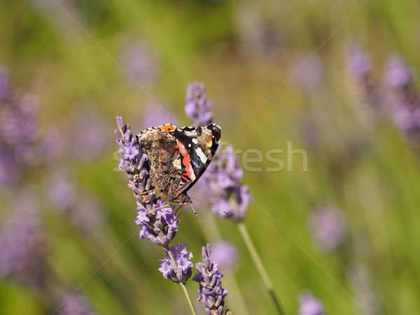 Red admiral (Vanessa atalanta) Stock photo © andreasberheide