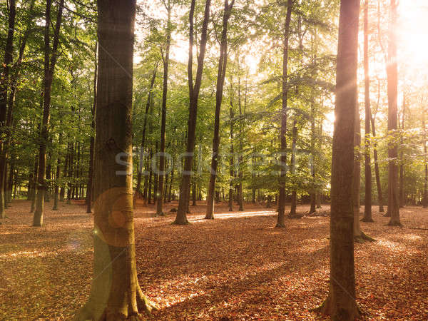 森林 太陽 ビーム 美しい ツリー 風景 ストックフォト © andreasberheide