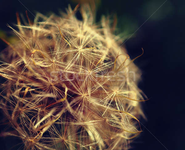 Close up of a dandelion Stock photo © andreasberheide