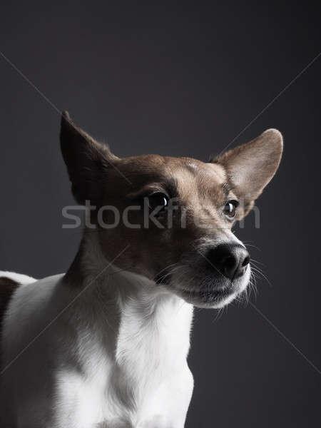 Jack russell terrier portré stúdiófelvétel aranyos kutya háttér Stock fotó © andreasberheide