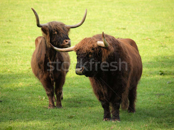 Highland cattle on green meadow Stock photo © andreasberheide