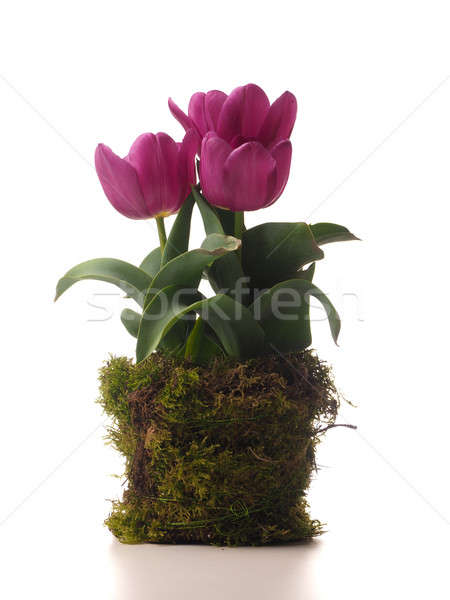 Pink tulips with moss Stock photo © andreasberheide