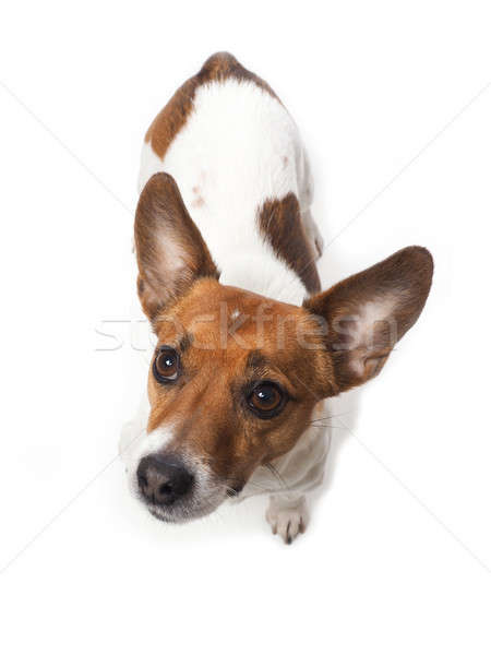 Cute Jack Russell Terrier Stock photo © andreasberheide
