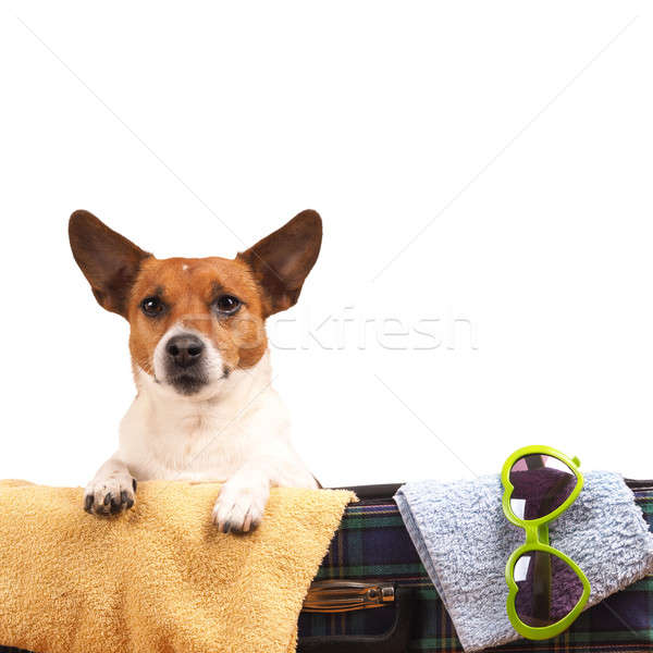 Jack Russel Terrier travelling Stock photo © andreasberheide