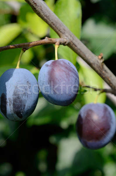 Plum Stock photo © andreasberheide