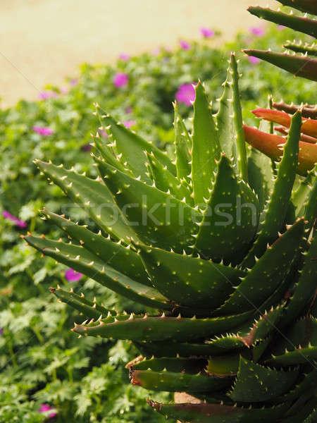 Aloe atış çiçek tıbbi doğa Stok fotoğraf © andreasberheide