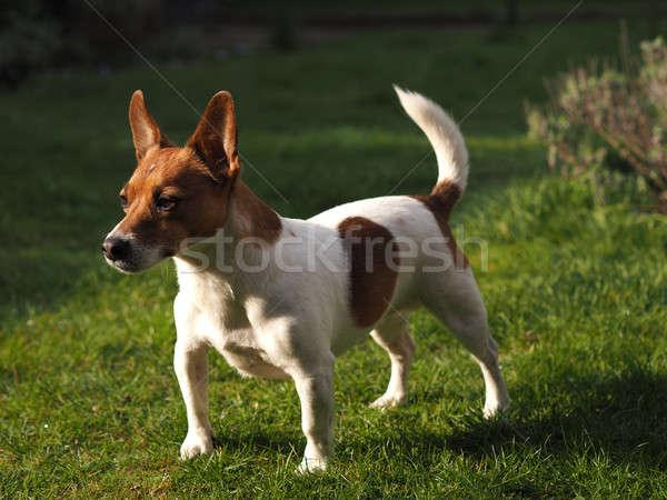 Jack Russell Terrier in a garden Stock photo © andreasberheide
